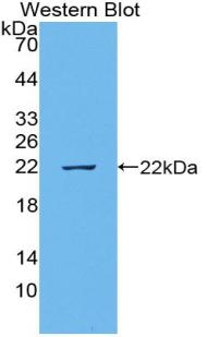 Polyclonal Antibody to Epiregulin (EREG)