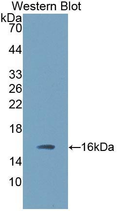 Polyclonal Antibody to Transforming Growth Factor Beta 3 (TGFb3)