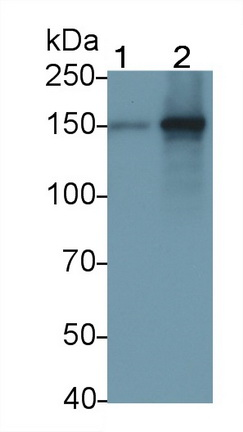 Polyclonal Antibody to Toll Like Receptor 8 (TLR8)