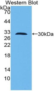 Polyclonal Antibody to Toll Like Receptor 10 (TLR10)