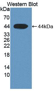 Polyclonal Antibody to Complement Factor B (CFB)