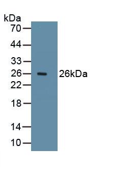 Polyclonal Antibody to Ki-67 Protein (Ki-67)