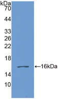 Polyclonal Antibody to Growth Differentiation Factor 6 (GDF6)