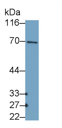 Polyclonal Antibody to Collagen Type X (COL10)