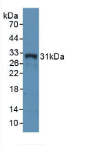 Polyclonal Antibody to HLA Class II Histocompatibility Antigen, DR Alpha Chain (HLA-DRA)