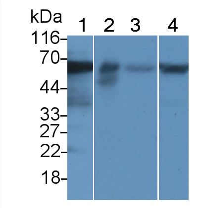 Polyclonal Antibody to Occludin (OCLN)