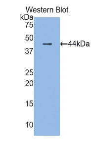 Polyclonal Antibody to Cathelicidin Antimicrobial Peptide (CAMP)