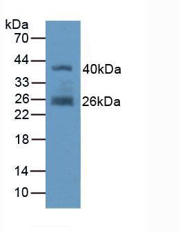 Polyclonal Antibody to Fibroblast Activation Protein Alpha (FAPa)
