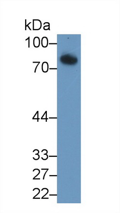 Polyclonal Antibody to Fibulin 1 (FBLN1)