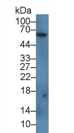 Polyclonal Antibody to Ferroportin (FPN)