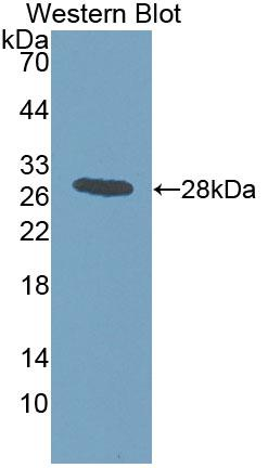Polyclonal Antibody to Intersectin 1 (ITSN1)