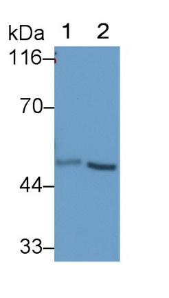 Polyclonal Antibody to Ubiquitin Associated Protein 1 (UBAP1)