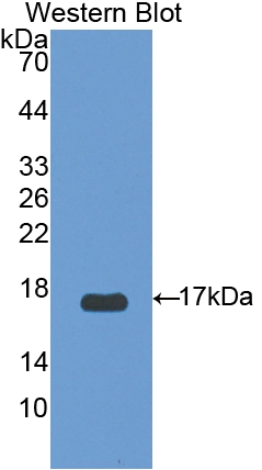 Polyclonal Antibody to Uncoupling Protein 2, Mitochondrial (UCP2)