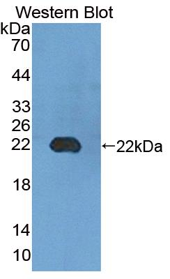 Polyclonal Antibody to Uridine Monophosphate Synthetase (UMPS)