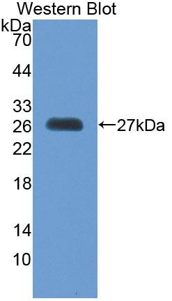 Polyclonal Antibody to Methionine Sulfoxide Reductase A (MSRA)