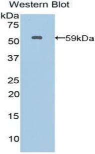 Polyclonal Antibody to Moesin (MSN)