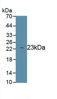 Polyclonal Antibody to Peroxiredoxin 1 (PRDX1)