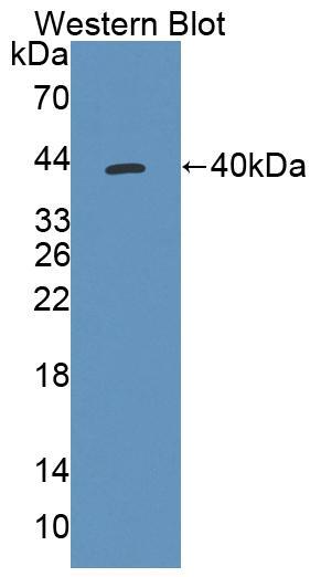 Polyclonal Antibody to Thiosulfate Sulfurtransferase (TST)
