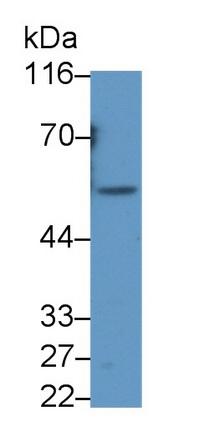 Polyclonal Antibody to Src Kinase Associated Phosphoprotein 1 (SKAP1)