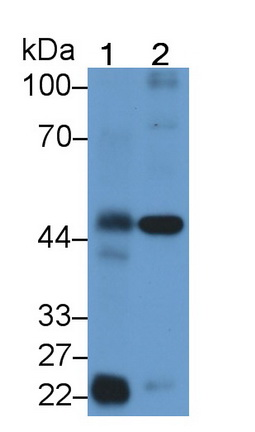 Polyclonal Antibody to Protease Activated Receptor 1 (PAR1)