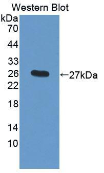 Polyclonal Antibody to Cathepsin F (CTSF)