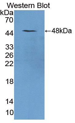 Polyclonal Antibody to Triadin (TRDN)