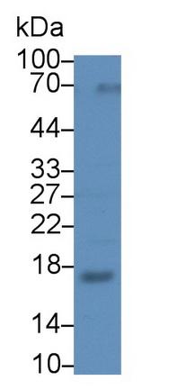 Polyclonal Antibody to Ribonuclease A2 (RNASE2)