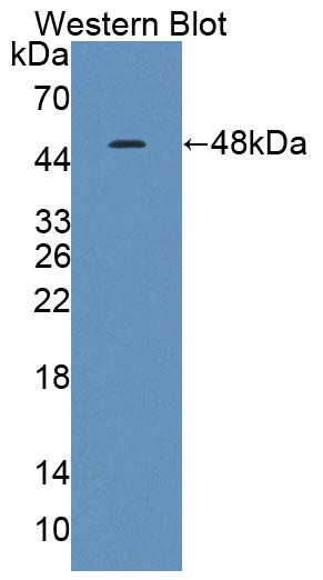 Polyclonal Antibody to Troponin C Type 1, Slow (TNNC1)
