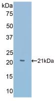 Polyclonal Antibody to Slit Homolog 1 (Slit1)