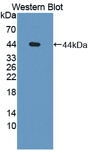 Polyclonal Antibody to Glia Derived Nexin (GDN)