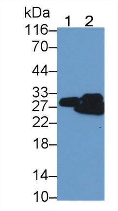 Polyclonal Antibody to Myosin Light Chain 4, Alkali, Atrial, Embryonic (MYL4)