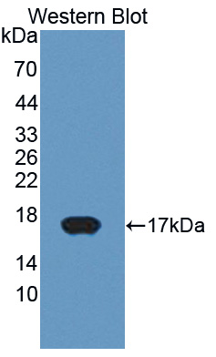 Polyclonal Antibody to Cytochrome P450 11A1 (CYP11A1)