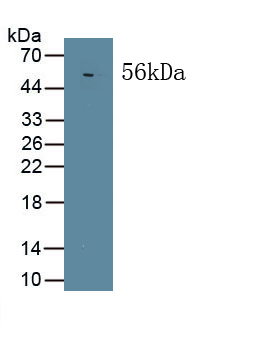 Polyclonal Antibody to Mitogen Activated Protein Kinase Associated Protein 1 (MAPKAP1)