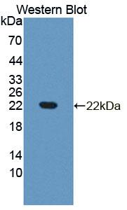 Polyclonal Antibody to Phospholipase A2, Group XII (PLA2G12)