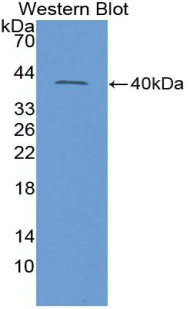 Polyclonal Antibody to Insulin Like Protein 3 (INSL3)
