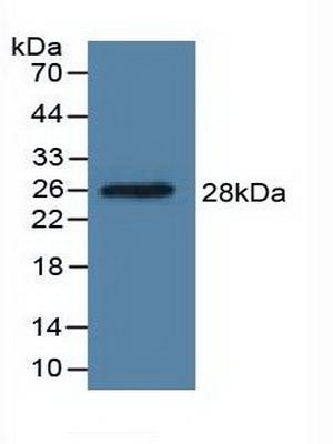 Polyclonal Antibody to Dimethylarginine Dimethylaminohydrolase 1 (DDAH1)