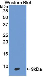 Polyclonal Antibody to Defensin Beta 103A (DEFb103A)