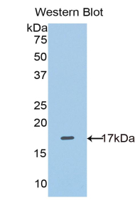 Polyclonal Antibody to Solute Carrier Family 3, Member 2 (SLC3A2)