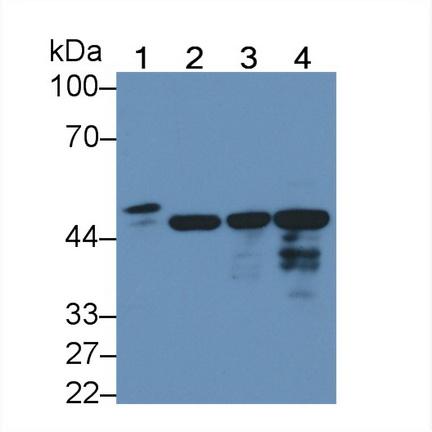Polyclonal Antibody to Annexin A13 (ANXA13)