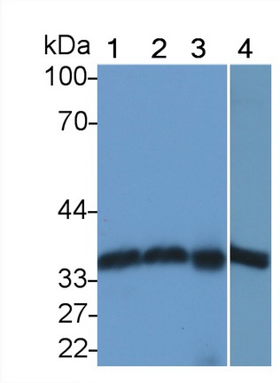 Polyclonal Antibody to Annexin A4 (ANXA4)