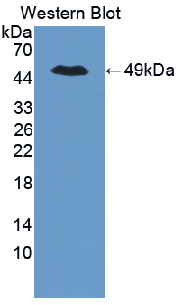 Polyclonal Antibody to Tight Junction Protein 2 (TJP2)