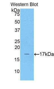 Polyclonal Antibody to Complexin 2 (CPLX2)