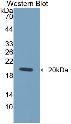 Polyclonal Antibody to Lysyl Oxidase Like Protein 4 (LOXL4)