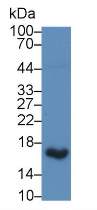 Polyclonal Antibody to Uroplakin 2 (UPK2)
