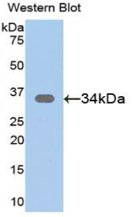 Polyclonal Antibody to Secreted Frizzled Related Protein 1 (SFRP1)