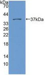 Polyclonal Antibody to Nesprin 2 (Nesp2)