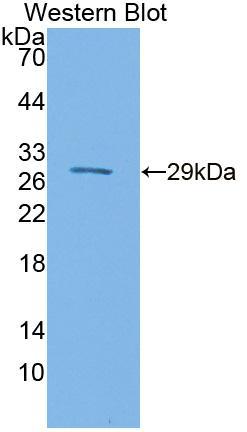 Polyclonal Antibody to Sulfite Oxidase (SUOX)