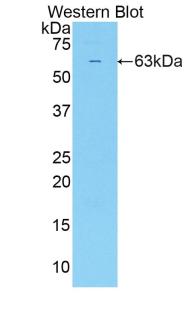 Polyclonal Antibody to Sulfatase 2 (SULF2)