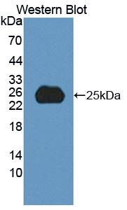 Polyclonal Antibody to Secreted Phosphoprotein 2 (SPP2)