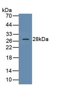 Polyclonal Antibody to Suppressors Of Cytokine Signaling 1 (SOCS1)